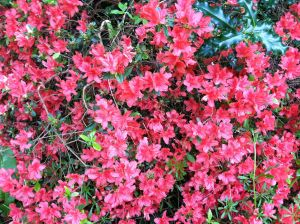 azalea close upIMG_1441